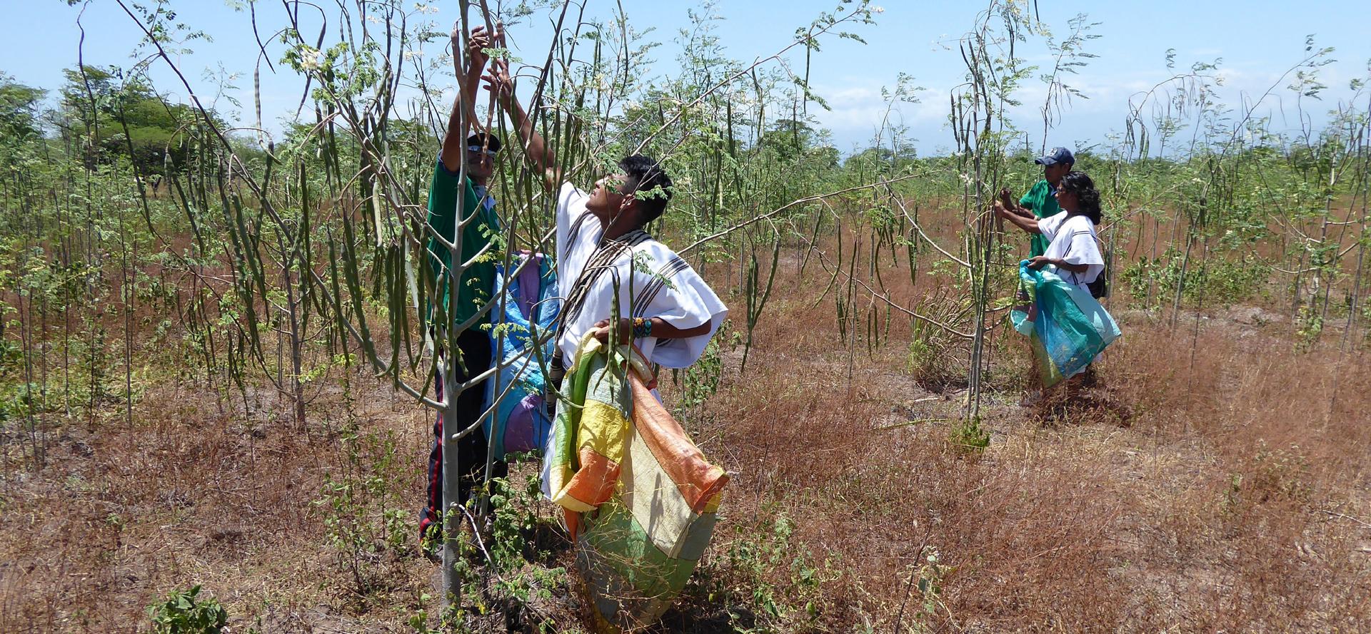 picking organic moringa leaves