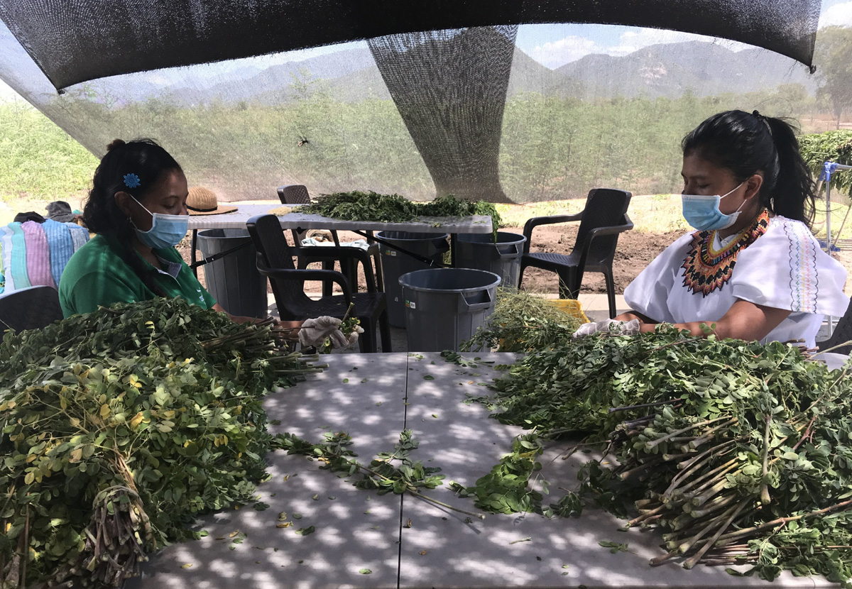 Processing the harvested moringa