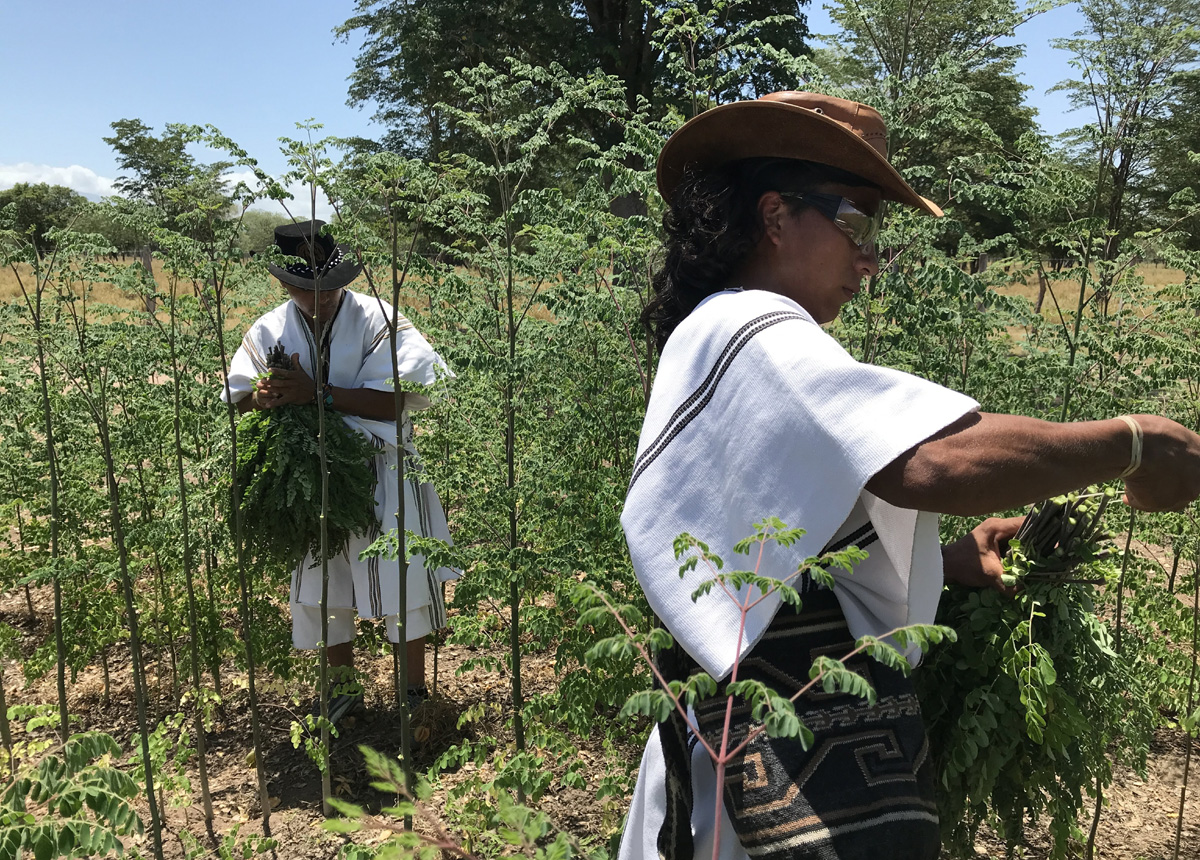 Arhuaco harvesting the moringa